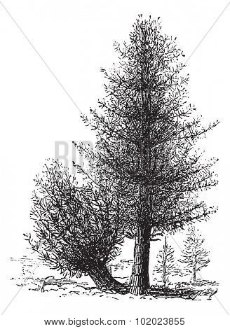 Calamus and Rattan, vintage engraving. Old engraved illustration of Rattan and Calamus trees. Trousset encyclopedia (1886 - 1891).