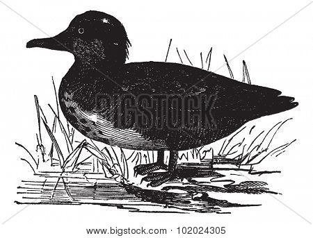 Common Teal or Anas crecca or Eurasian Teal or The teal, vintage engraving. Old engraved illustration of Common Teal. Trousset encyclopedia (1886 - 1891).