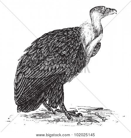 Griffon Vulture or Gyps fulvus, vintage engraved illustration. Trousset encyclopedia (1886 - 1891).