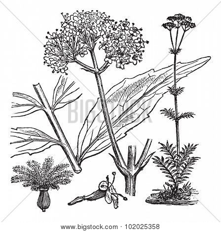 Garden Valerian or Valeriana officinalis, vintage engraved illustration. Trousset encyclopedia (1886 - 1891).