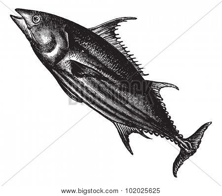Tropical bonito (Thunnus pelamys), vintage engraved illustration. Trousset encyclopedia (1886 - 1891).