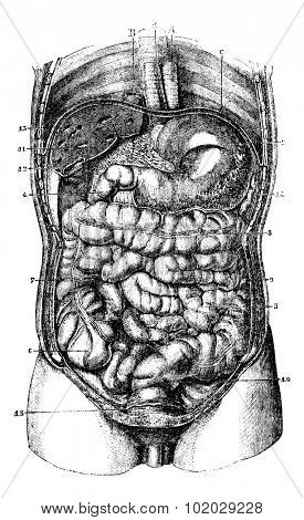 Internal body. 1. Esophagus. 2. Stomach. 3.Orifice pyloric stomach. 4. Duodenum. 5. Small intestine. 6. Caecum. 7. Ascending colon. 8. Transverse Colon. Usual Medicine Dictionary by Dr Labarthe - 1885