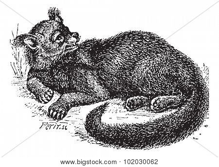 Old engraved illustration of Binturong or Arctictis binturong or Asian Bearcat or Palawan Bearcat or Bearcat in the meadow.Dictionary of words and things - Larive and Fleury, 1895