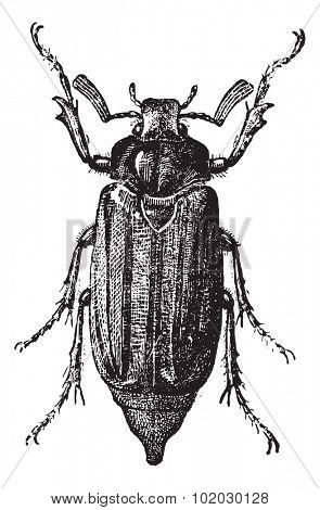 Fig 10. Cockchafer or May Bug or Mitchamador or billy witch or spang beetle, vintage engraved illustration. Dictionary of words and things - Larive and Fleury - 1895.