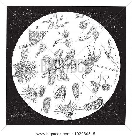 Diatomaceous earth, Diatomite or kieselgur, vintage. A naturally occurring siliceous sedimentary rock with fossilized remains of diatoms. Dictionary of words and things - Larive and Fleury - 1895.