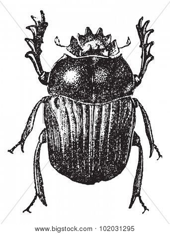 Beetle isolated on white, vintage engraved illustration. Dictionary of words and things - Larive and Fleury - 1895.