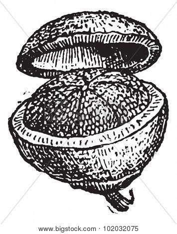 Old engraved illustration of Pyxis (fruit) isolated on a white background. Dictionary of words and things - Larive and Fleury - 1895