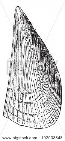 Atrina, vintage engraved illustration. Dictionary of words and things - Larive and Fleury - 1895.