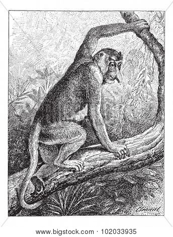 Kahau or proboscis monkey (Nasalis larvatus) or long-nosed monkey or bekantan,  vintage engraved illustration. Dictionary of words and things - Larive and Fleury - 1895.