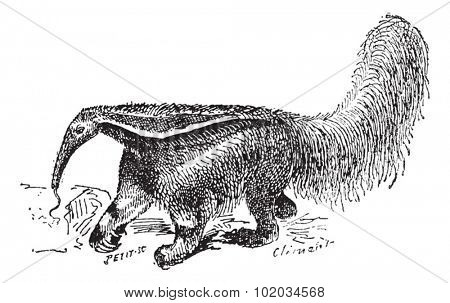 Old engraved illustration of Anteater in the meadow. Dictionary of words and things - Larive and Fleury