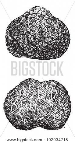 Truffles, vintage engraved illustration. Dictionary of Words and Things - Larive and Fleury - 1895