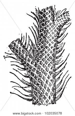 Lepidodendron, showing trunk and grass-like leaf blades, vintage engraved illustration. Dictionary of Words and Things - Larive and Fleury - 1895
