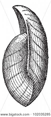 Uncites gryphus, fossil, vintage engraved illustration. Dictionary of Words and Things - Larive and Fleury - 1895