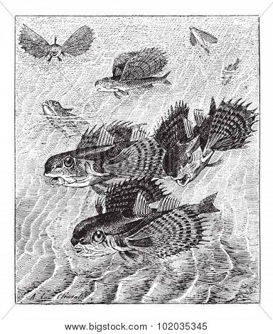 Flying gurnard or Dactylopterus volitans, vintage engraved illustration. Dictionary of words and things - Larive and Fleury - 1895.