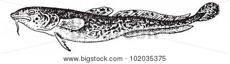 Burbot or Lota lota, vintage engraved illustration. Dictionary of Words and Things - Larive and Fleury - 1895