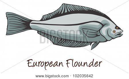 European Flounder, Color Illustration