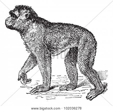 Barbary Macaque or Macaca sylvanus, vintage engraved illustration. Dictionary of Words and Things - Larive and Fleury - 1895