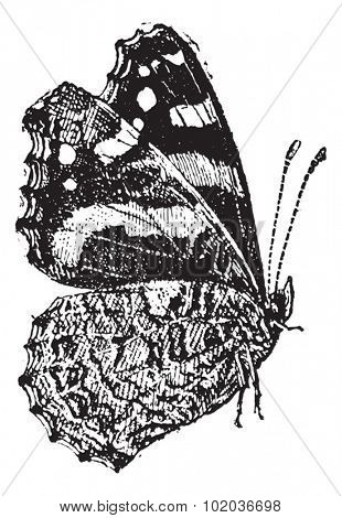 The Red Admiral (Vanessa atalanta) a colorful butterfly, vintage engraved illustration. Dictionary of words and things - Larive and Fleury - 1895.