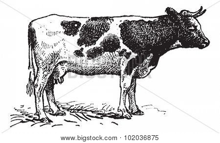Dutch cattle breed, vintage engraved illustration. Dictionary of words and things - Larive and Fleury - 1895.