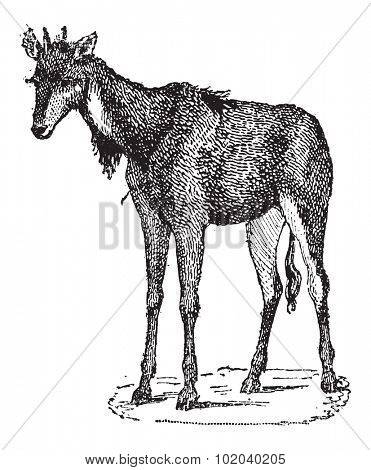 Nilgai, Nilgau or Boselaphus tragocamelus, vintage engraved illustration. Dictionary of Words and Things - Larive and Fleury - 1895