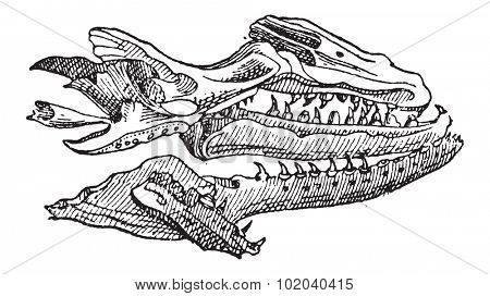 Mosasaur, showing skull fossil, vintage engraved illustration. Dictionary of Words and Things - Larive and Fleury - 1895