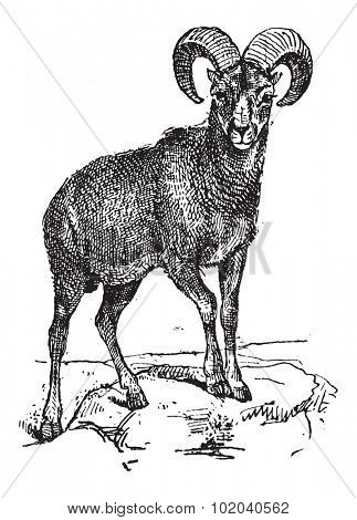 European Mouflon or Ovis orientalis musimon, vintage engraved illustration. Dictionary of Words and Things - Larive and Fleury - 1895