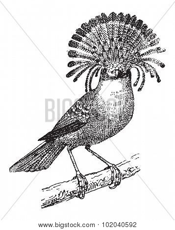 Flycatcher or Elminia sp., vintage engraved illustration. Dictionary of Words and Things - Larive and Fleury - 1895