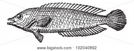 Parrotfish or Scarus sp., vintage engraved illustration. Dictionary of Words and Things - Larive and Fleury - 1895