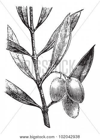 Olive branch with olives, vintage engraved illustration. Usual Medicine Dictionary - Paul Labarthe - 1885.
