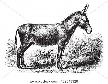 Donkey on field, vintage engraved illustration. Animaux Sauvages et Domestiques - For kids - 1892.