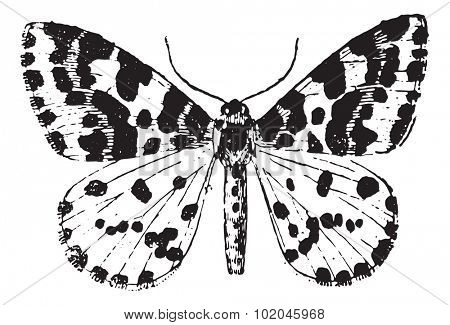 Moth, vintage engraved illustration. Dictionary of words and things - Larive and Fleury - 1895.