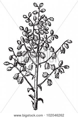 Panicle, vintage engraved illustration. Dictionary of words and things - Larive and Fleury - 1895.