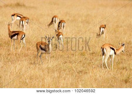 Thomsons Gazelles Grazing On Grass Of African Savanna