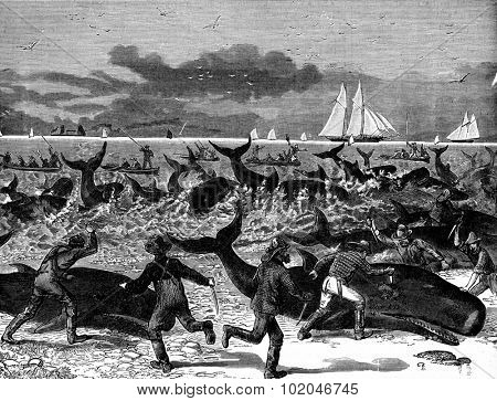 Hunting porpoises, vintage engraved illustration. Journal des Voyage, Travel Journal, (1880-81).