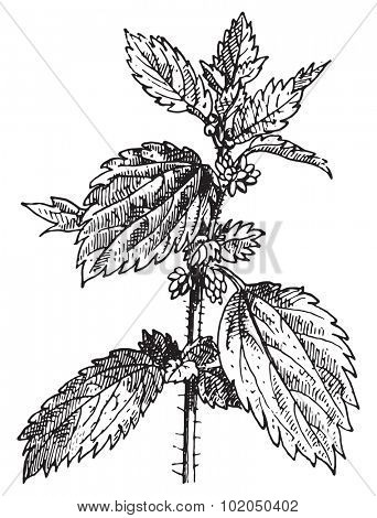Stinging nettle or Nettle or common nettle or Urtica dioica, vintage engraved illustration. Dictionary of words and things - Larive and Fleury - 1895.