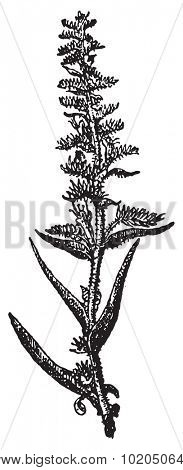 Echium vulgare or Viper's Bugloss or Blueweed, vintage engraved illustration. Dictionary of words and things - Larive and Fleury - 1895.