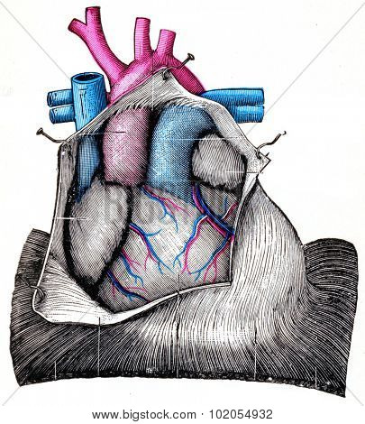 The Heart, vintage engraved illustration.
