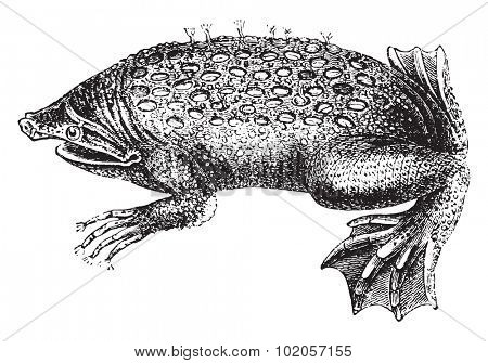 Toad-Pipa, vintage engraved illustration. Natural History of Animals, 1880.
