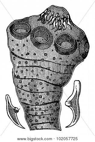 Head tapeworm (enlarged), with two hooks isolated, vintage engraved illustration. La Vie dans la nature, 1890.