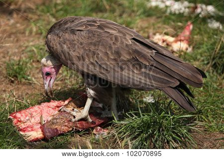 Hooded vulture (Necrosyrtes monachus) eating meat. Wild life animal.