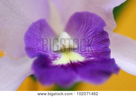 Purple White Orchid Flower