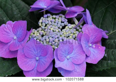 Blue Purple Hydrangea Hortensia Flower