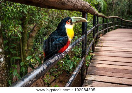 Toucan Bird, National Park Iguazu