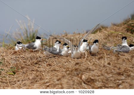 crested terns during the nesting or breeding season poster
