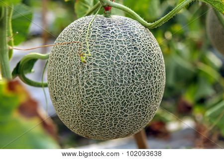 Cantaloupe fruit on tree