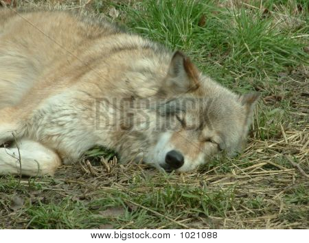 wolf lying on the grass while sleeping poster