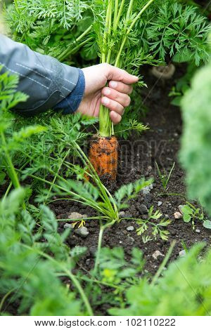 Pulling A Carrot Out Of The Ground