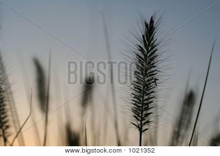 Grass Plume