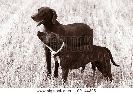 Photo of two friendly dogs - one lbrador and one amstaff dog in a field