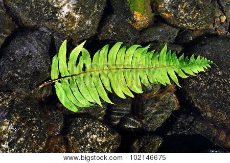 Photo of a silver fern resting on smooth river stones in the river